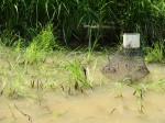 Crayfish Trap - rice paddy