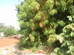 neem tree in Hawaii'